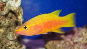 The Most Exotic Salt Water Fish - OCD Reefs